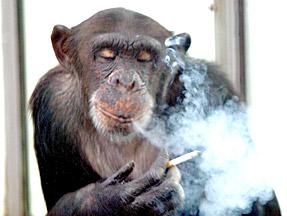 Ai Ai - the smoking chimpanzee